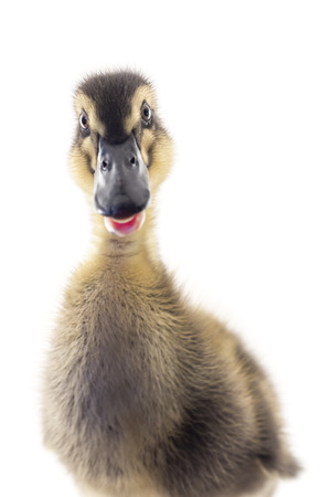 dabbling: American pekin duckling and  in studio shot photo. This yellow duckling is domesticated for egg production Stock Photo