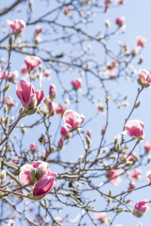 Beautiful spring bloom for magnolia tulip trees pink flowers photo