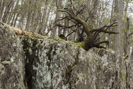 displace: Uprooted tree near rocky textured moss covered cliff
