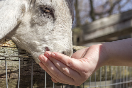petting: Feeding a small goat at a petting zoo in early spring