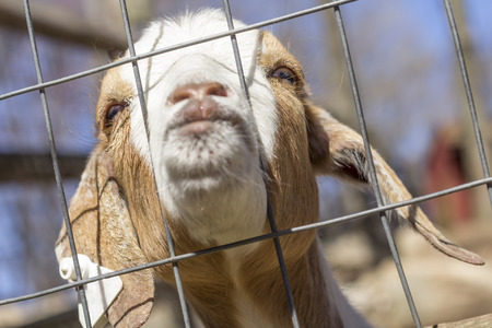 puckered lips: Kinder Goat peers through the fence and puckers his lips for a kiss