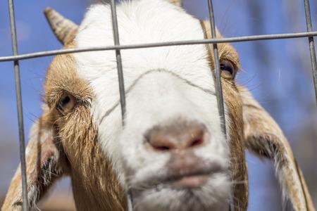 kinder: Sad Kinder Goat peers through the fence