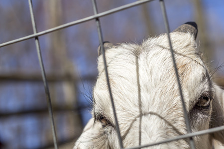 kinder: Angry Kinder Goat peers through the fence Stock Photo