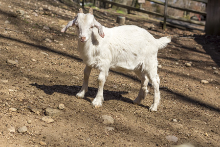 kinder: Kinder Goat playing in farm pen in early Springtime