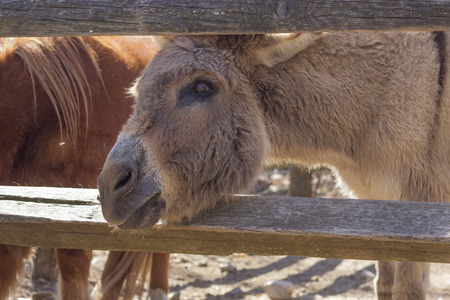 jack ass: Cute donkey sticks its head between the wooden fence looking for food