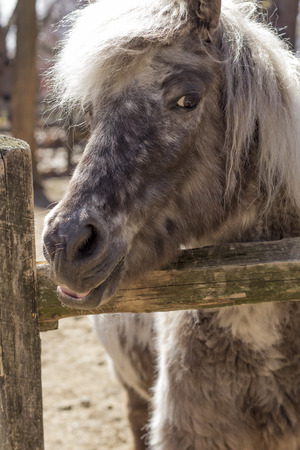 Grey pony with thick fur and silver mane looks over his fence in this farm portrait