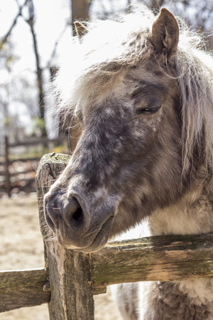 mane: Grey pony with thick fur and silver mane looks over his fence in this farm portrait