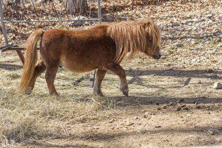 on tiptoes: Brown pony tiptoes through farm yard in wide shot photo