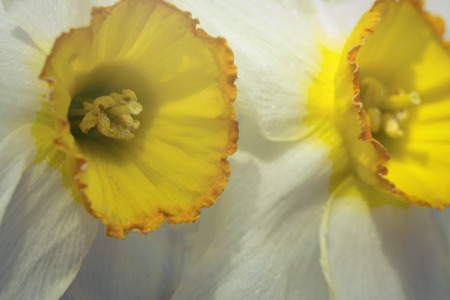 stigma: Yellow and white daffodil in macro close up focus on stigma with shallow depth of field