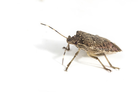 Annoying household brown marmorated stink bug in macro close up photo 스톡 콘텐츠