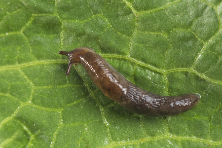 Common garden slug slithers along a leaf in close up macro photo