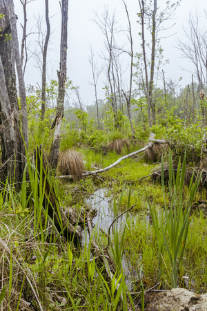 Foggy overgrown swamp or marsh woods early in the morning Imagens