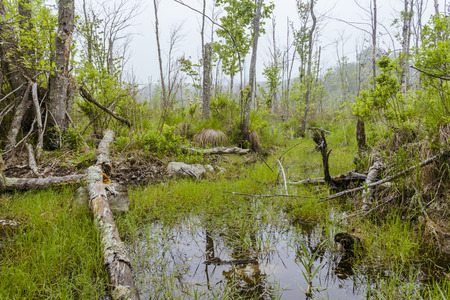 overgrown: Foggy overgrown swamp or marsh woods early in the morning Stock Photo