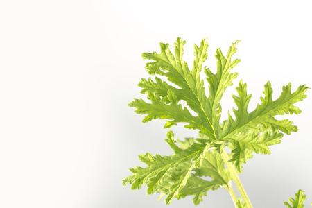 repellant: All natural citronella plant mosquito repellant leaves Stock Photo