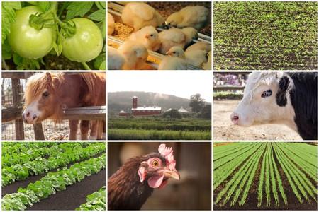 agricultura: Mosaico de los animales de granja y las im�genes agr�cola en las im�genes del collage