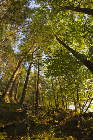 wide angle lens: Tall trees deep in the forest with fisheye wide angle lens Stock Photo