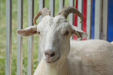 pygmy goat: Smirking adult goat with horns in pen behind fence