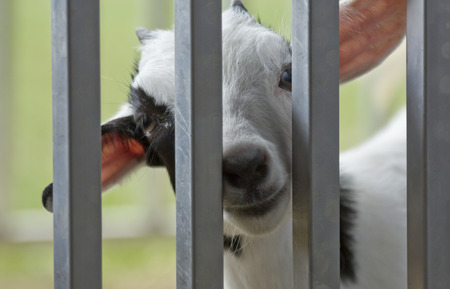 baby goat: Cute and curious baby goat kid behind metal fence
