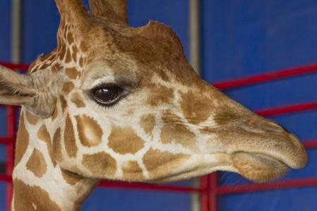exhibit: Close up giraffe face at summer carnival fair exhibit