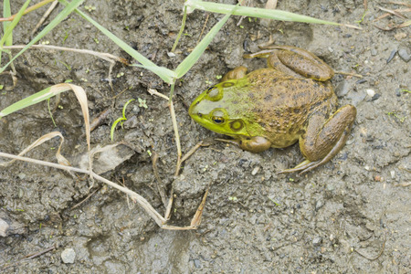 muddy: Muddy green bull frog resting in its natural habitat Stock Photo