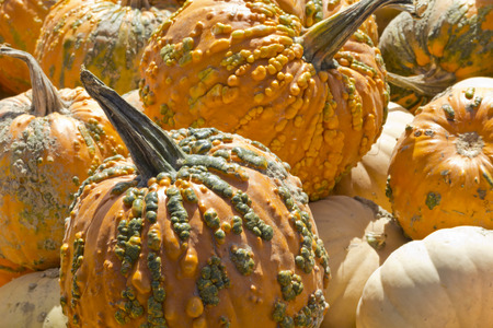 bumpy: Hybrid Cucurbita pepo knucklehead pumpkin display at local farmers market