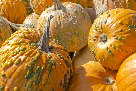 Hybrid Cucurbita pepo knucklehead pumpkin display at local farmers market