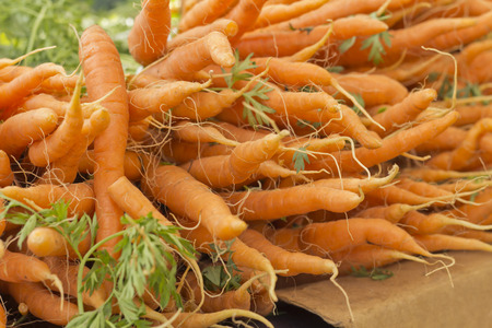 carots: Bunches of organic carrots with green stems attached grown locally