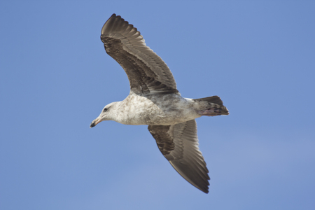sea gull: Sea gull flying through the air during a sunny vacation day