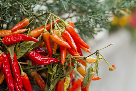 chili: Organic chili pepper plants growing red hot peppers