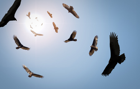 a large bird of prey: Flock of circling turkey vultures with looming clouds and bright sun