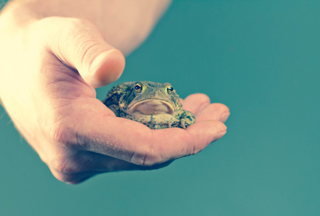 grumpy: Gentle hands hold captive grumpy Eastern American toad