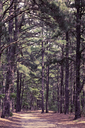 Woods pin sentier nature paysage sur chaude journée d'été Banque d'images - 48888581