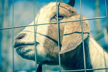 kinder: Smiling Kinder Goat peers through the fence