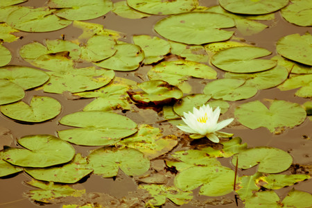 waterlilly: Natural lily pads with flower on summer lake Stock Photo