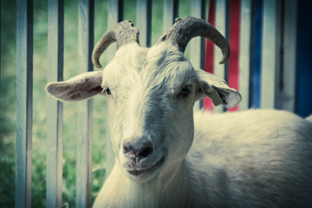 smirking: Smirking adult goat with horns in pen behind fence