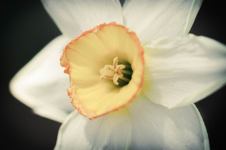perianth: Yellow and white daffodil in macro close up focus on stigma with shallow depth of field