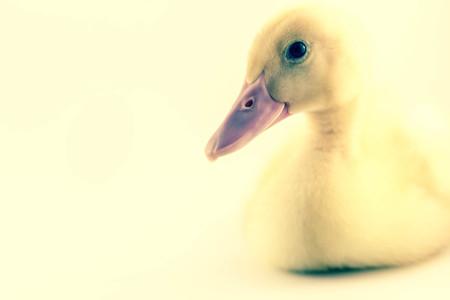 estereotipo: Patito pekin americano o Long Island Duck en tiro del estudio de la foto. Este amarillo patito se domestica para la producci�n de huevos Foto de archivo