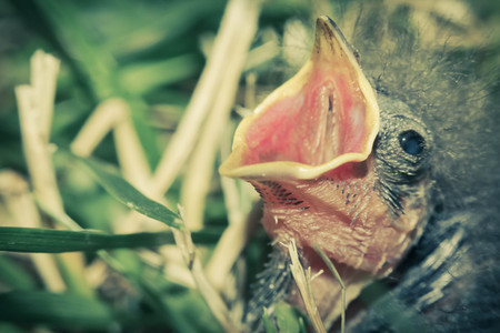 hatchling: Baby chipping sparrow hatchling hungry for food from its mother