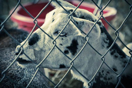 pygmy goat: Cute young speckled goat in pen behind fence on farm