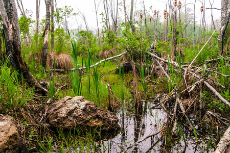 mood moody: Foggy overgrown swamp or marsh woods early in the morning Stock Photo