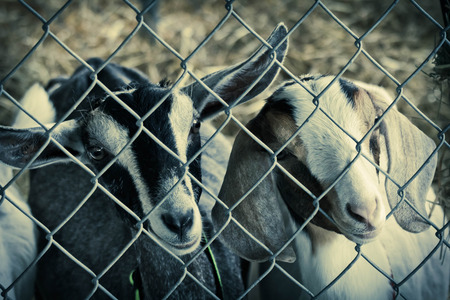 pygmy goat: Cute young goats in pen behind fence on farm