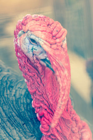 gobble: Ugly breed of Wild Turkey close up nasty and scary looking