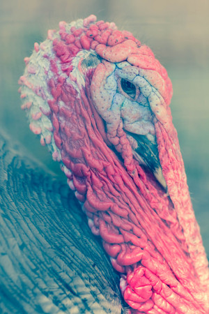nasty: Ugly breed of Wild Turkey close up nasty and scary looking