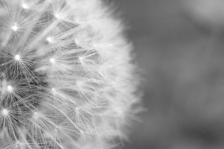 seeding: Beautiful seeding dandelion flower with shallow focus in macro closeup