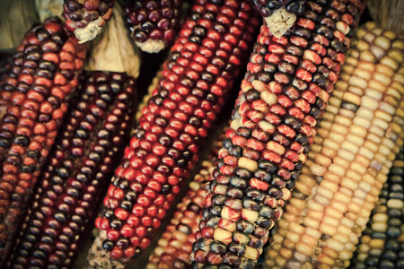 Dried decorative Indian corn for Autumn themed background image 写真素材
