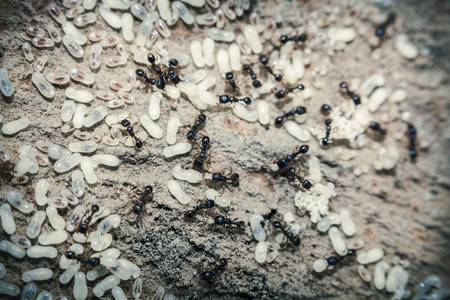 white eggs: Red ants tend their eggs in macro photo Stock Photo