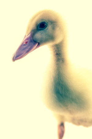yellow duckling: American pekin duckling or Long Island Duck in studio shot photo. This yellow duckling is domesticated for egg production Stock Photo