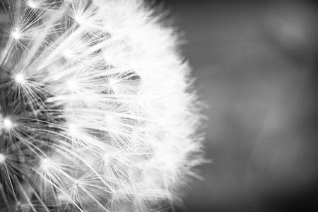 macro: Beautiful seeding dandelion flower with shallow focus in macro closeup