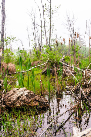 wetland conservation: Foggy overgrown swamp or marsh woods early in the morning Stock Photo