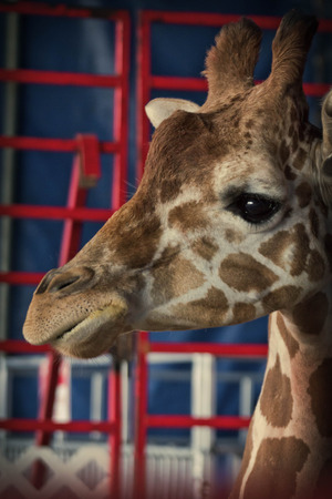 Close up giraffe face at summer carnival fair exhibit